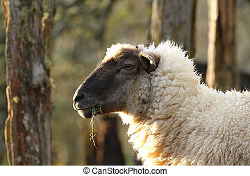 Portrait of a cute white sheep with a black face