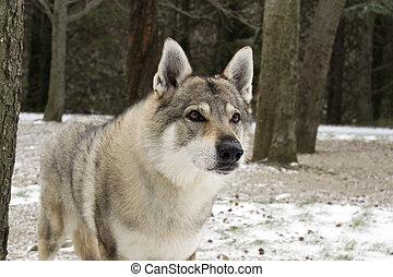 Portrait of a Czechoslovakian Wolfdog