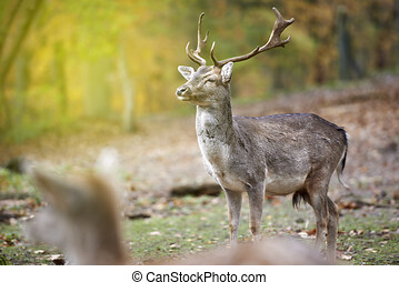 Portrait of a deer in the woods, a deer in the woods with unfocused background