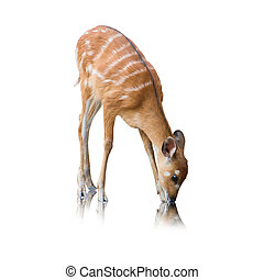 Portrait Of A Deer On White Background