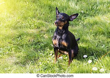 Portrait of a doberman pinscher puppy