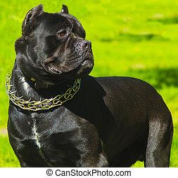 portrait of a dog Cane Corso