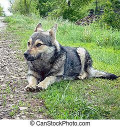 Portrait of a dog like a shepherd lying on grass