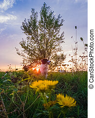 Portrait of a dog posing in the nature on a summer flowering meadow over a sunset sky background. Orange sun beams pierce the branches of a poplar tree and a Border Collie puppy enjoying the dusk