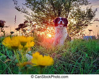 Portrait of a dog posing in the nature on a summer flowering meadow over a sunset sky background. Orange sun beams pierce the branches of a elm tree and a Border Collie puppy enjoying the dusk