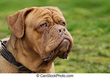 portrait of a Dogue de Bordeaux large