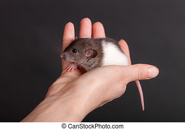domestic baby rat in the palm