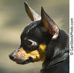 Portrait of a domestic pet dog miniature pinscher