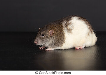 domestic rat on a black background