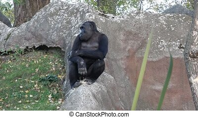 Portrait of a dominant gorilla. (Gorilla gorilla)