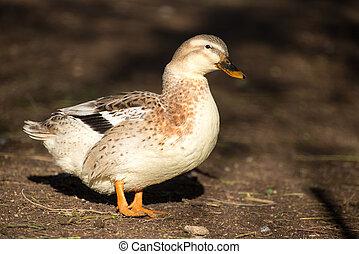 Portrait of a duck