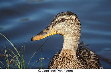 portrait of a duck closeup