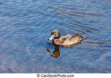 duck swimming in blue water