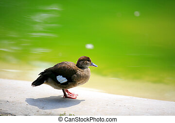 Portrait of a duck with  clean water