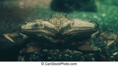Portrait of a Dungeness Crab. - Cinematic portrait of a...