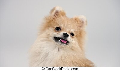 Portrait of a dwarf Pomeranian with expressive bead eyes and a smile on its face. Pet posing in the studio on a gray background with his tongue out, front view. Slow motion. Close up