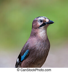 Portrait of a (Eurasian) jay bird