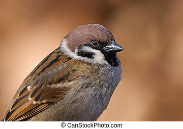 Portrait of a Eurasian tree sparrow (Passer montanus)
