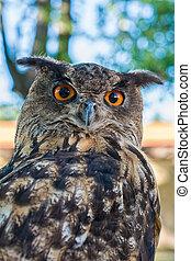 Portrait of a euroasian eagle owl