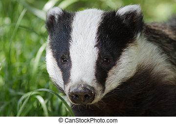 European Badger (Meles meles) - Portrait of a European...