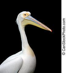Portrait of a European white pelican