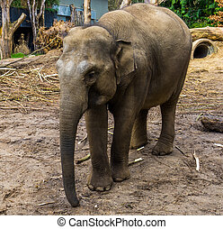 Portrait of a female Asian elephant standing in the sand, Endangered mammal from Asia and India