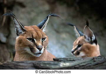 Portrait of a female Caracal and young caracal in background.