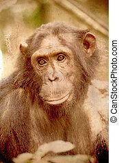 Portrait of a female chimpanzee in vintage sepia tone