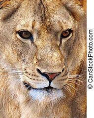Portrait of a Female Lion