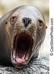 Portrait of a female southern sea lion in an austrian