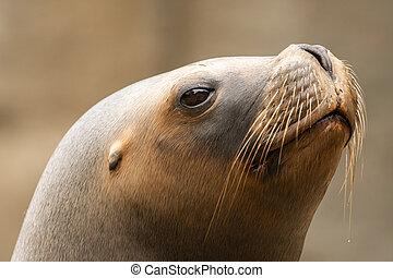 Portrait of a female southern sea lion