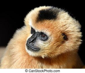 Portrait of a female White Cheeked Gibbon