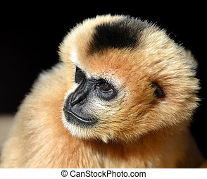 Portrait of a female White Cheeked Gibbon ( Nomascus...