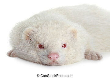 Portrait of a ferret
