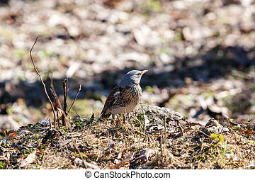 fieldfare in early spring