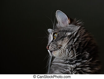 Portrait of a fluffy striped cat in profile on a blurred dark background. Head of beautifull cat. Selective focus image.