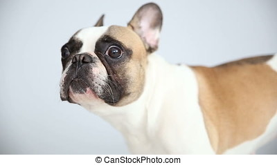 portrait of a French bulldog on a white background. cheerful...