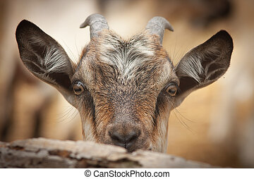 funny goat looking to camera