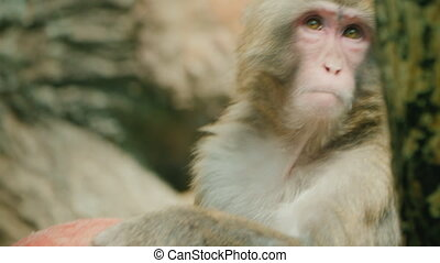 Portrait of a funny japanese macaque with a toy.