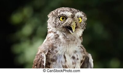Portrait of a funny little owl in the forest - Portrait of a...