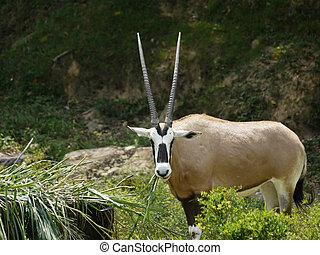 Portrait of a Gazelle