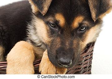 portrait of a German Shepherd puppy