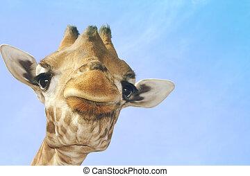 Portrait of a giraffe against a blue sky
