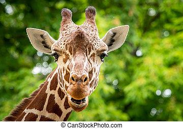 Portrait of a giraffe in a zoo