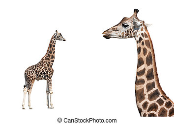 Portrait of a giraffe isolated on a white