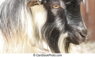 Portrait of a goat