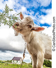 Portrait of a goat eating a grass on a green meadow