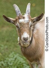 Portrait of a goat.