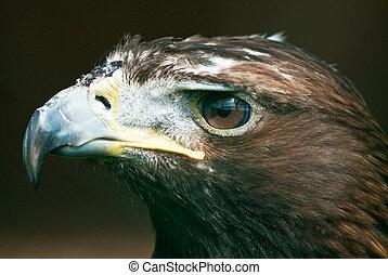 Golden Eagle (lat. Aquila chrysaetos)