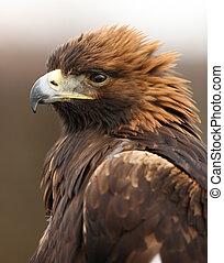 Golden Eagle - Portrait of a Golden Eagle